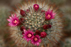 Kaktusblumen Stockbild