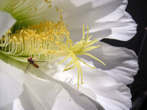 Kaktusblumenabschluß oben Stockfotografie