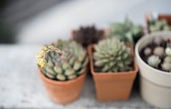 Kaktusblumenabschluß herauf Schuss Stockfotos