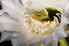 Kaktusblumennahaufnahme Stockfoto