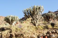Kaktuscandelabre i Simien berg royaltyfri bild