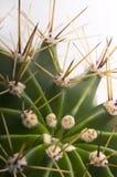 kaktuscloseup Arkivbild