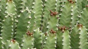 Kaktuscloseup i naturlig effekt för villkorKen brännskador stock video