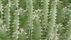 Kaktuscloseup i naturlig effekt för villkorKen brännskador arkivfilmer