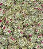 Kaktuscloseup med blommor på Jardin de Kaktus Royaltyfria Bilder