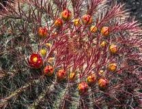 Kaktuscloseup på Jardin de Kaktus Arkivfoton