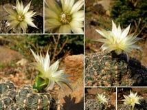 kaktuscollage Arkivbilder