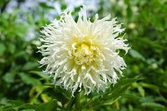 Kaktusdahlia πολύ όμορφο Στοκ Φωτογραφίες