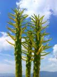 Kaktusdreiergruppe Stockbild