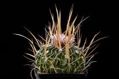 KaktusEchinofossulocactus brachycentrus med blomman som isoleras på svart Royaltyfri Foto