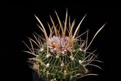 KaktusEchinofossulocactus brachycentrus med blomman som isoleras på svart Arkivfoton
