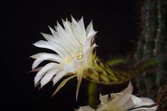 Kaktusechinopsisblommor Arkivfoton