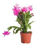 kaktusen blommar den rosa krukan Royaltyfri Foto