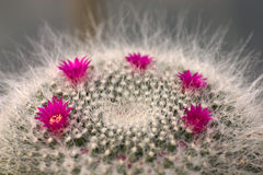 kaktusen blommar mammilaria Royaltyfri Fotografi