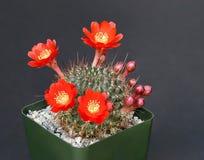 kaktusen blommar red Royaltyfri Foto