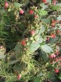 kaktusen blommar red Arkivfoto