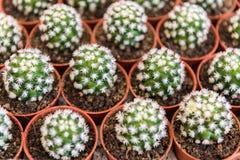 kaktusen blommar white arkivbilder