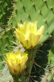 kaktusen blommar yellow Royaltyfria Bilder