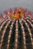 kaktusen blommar yellow royaltyfri fotografi