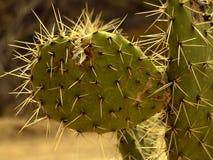 kaktusen kallade nopalen Royaltyfria Foton