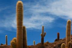 Kaktusfält Arkivfoto