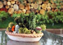 Kaktusfamiljväxter i kruka Royaltyfria Bilder