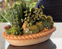 Kaktusfamiljväxter i kruka Arkivbilder