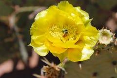 Kaktusfeige-Blüte mit Honey Bee Stockbild