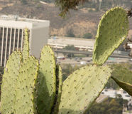 Kaktusfeige Cactus& x28; Opun Tia Englemann u. x29; Stockbilder