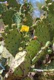 Kaktusfeige-Kaktus-Blüte Lizenzfreie Stockbilder