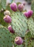 Kaktusfeige-Kaktus-Frucht Lizenzfreies Stockfoto