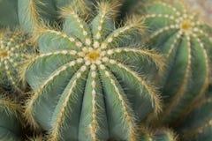 Kaktusfeige-Kaktus-Gruppe stockbild