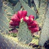 Kaktusfeige-Kaktus mit Frucht stockbilder