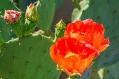 Kaktusfeige-Kaktus-orange Blumen und Knospen lizenzfreies stockfoto