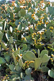 Kaktusfeige mit Feigen lizenzfreie stockfotografie