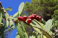 Kaktusfeige mit Feigen lizenzfreie stockfotos