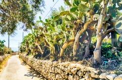Kaktusfeigebäume Lizenzfreie Stockbilder