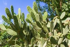 Kaktusfeigebaum bei Chania Kreta. Lizenzfreie Stockfotos