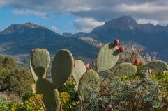 Kaktusfeigekakteen und -berge. Stockfotografie