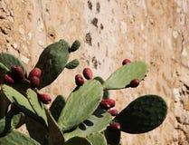 Kaktusfeigekaktus gegen eine Wand Stockbilder