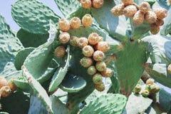 Kaktusfeigekaktus mit Früchte alias Opuntie, Ficus-Indica, Kaktusfeigeopuntie auf der Straße von Acitrezza, Catania, Sicil stockfoto