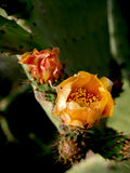 Kaktusfeigen in Folge Stockfoto