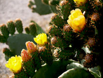 Kaktusfeigen in Folge Lizenzfreies Stockbild