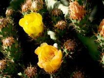 Kaktusfeigen in Folge Stockbild
