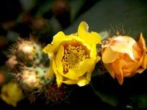 Kaktusfeigen in Folge Stockfotografie