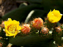 Kaktusfeigen in Folge Stockfotos