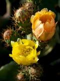 Kaktusfeigen in Folge Lizenzfreie Stockfotos