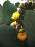 Kaktusfeigen in Folge Lizenzfreie Stockfotografie