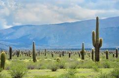 Kaktusfeld Stockbild