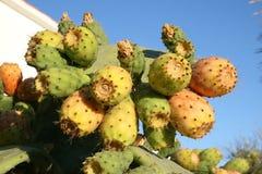 Kaktusfikonträd Arkivfoto